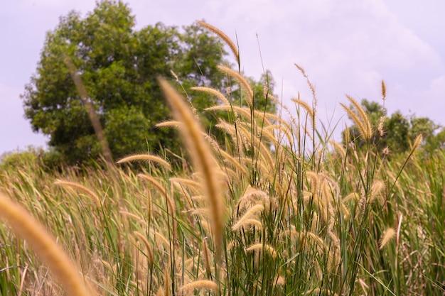 Brown of grass field in thailand