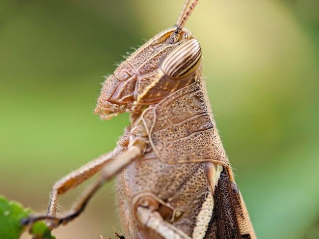 Brown grasshopper also called short-horned grasshopper, hides behind green leaves.
