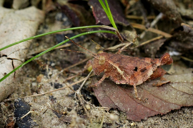 Brown grasshopper on dry brown leaves