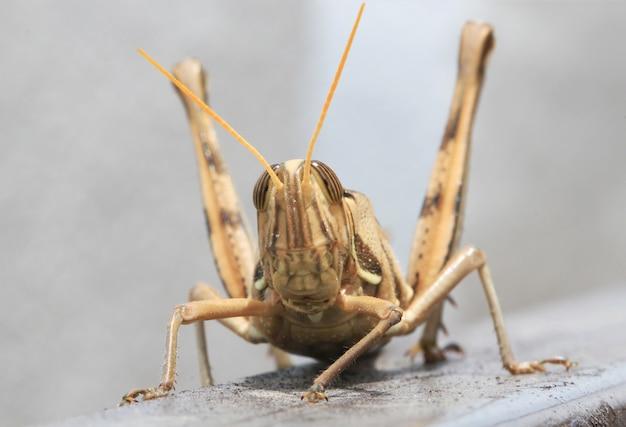 Brown grasshopper, macro close up.