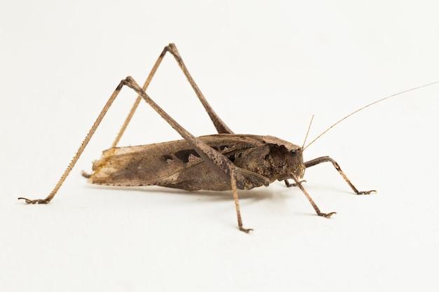 흰색 표면에 고립 된 갈색 메뚜기 mecopoda elongata