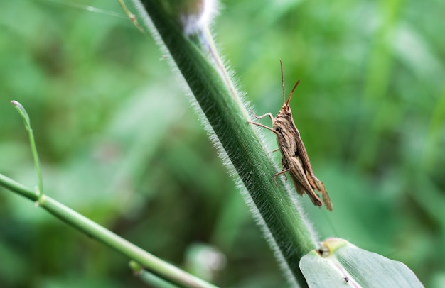 야생 잔디 지점에 앉아 갈색 메뚜기
