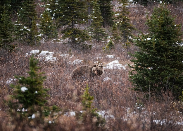 Brown grizzly bear fluffy on meadow in national park at icefields parkway