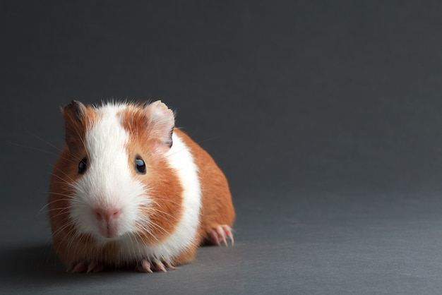 A brown guinea pig on grey background