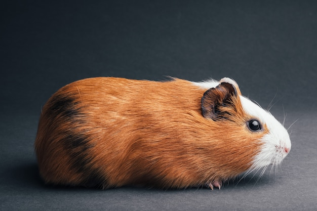 A brown guinea pig on grey backgrounds