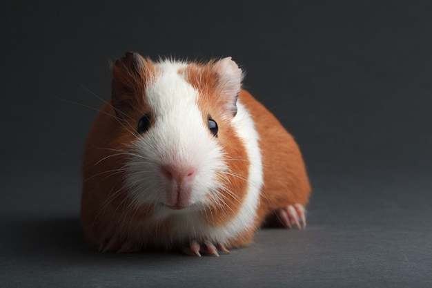 A brown guinea pig on grey surface