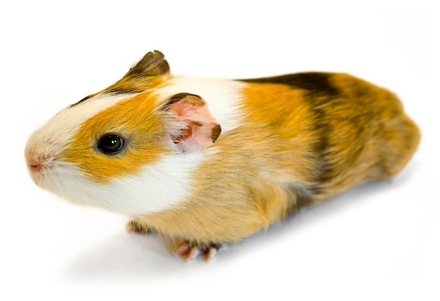 Brown guinea pig on grey surface