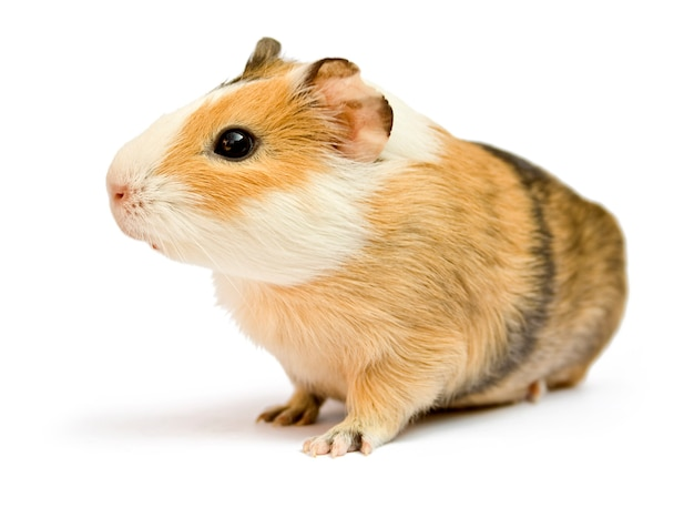 Brown guinea pig on white isolated