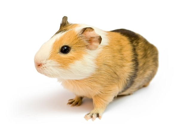 Brown guinea pig on white isolated Premium Photo