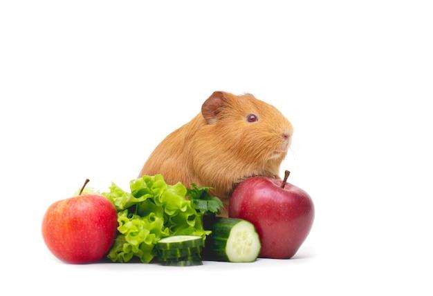 샐러드와 사과 흰색 배경 앞의 갈색 기니피그