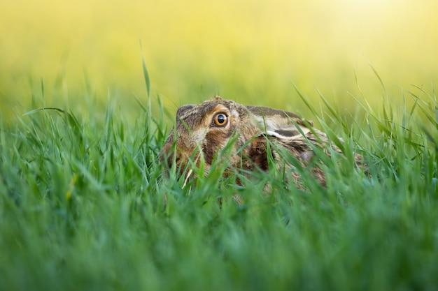 Brown hare hiding in long grass in summer sunlight