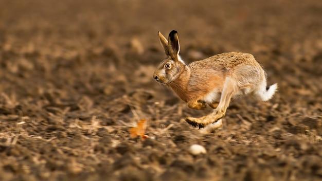 Заяц-русак, lepus europaeus, бегает по полю в осеннем солнечном свете. ушастое млекопитающее прыгает по земле осенью. дикий кролик в движении на сельскохозяйственных угодьях.