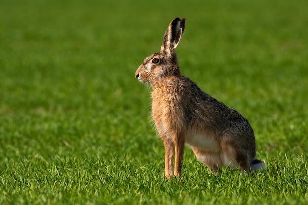 Заяц-заяц сидит в зеленой траве в весенний сезон с копией пространства