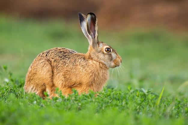 Заяц-русак, сидящий в зеленой траве в весенней природе.