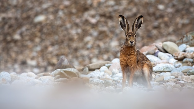 Заяц-русак сидит на камнях и смотрит в камеру