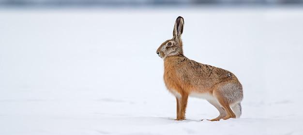 Заяц-заяц, стоя на снегу в зимней природе