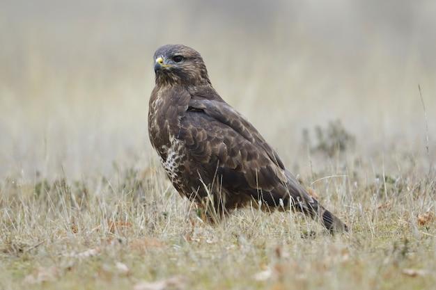 Brown hawk in a grassy field