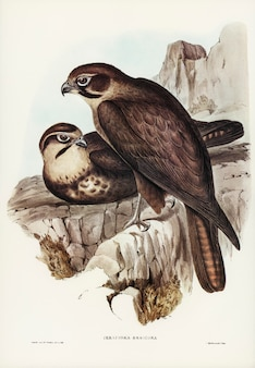 Brown hawk (ieracidea berigora) illustrated by elizabeth gould