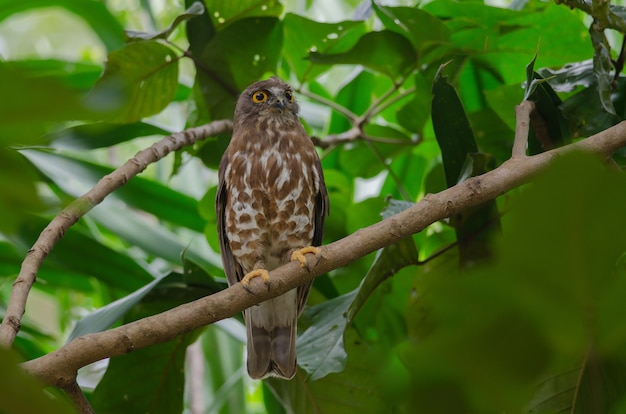 Brown hawk owl perch on the tree in nature