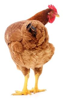 Коричневая курица, изолированная на белом, студийный снимок