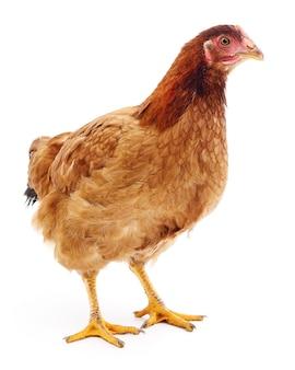 Brown hen isolated on white, studio shot