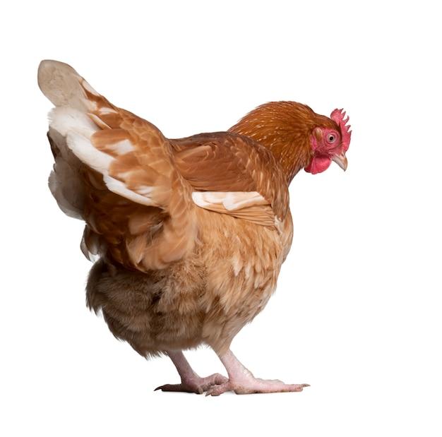 Коричневая курица на белом фоне