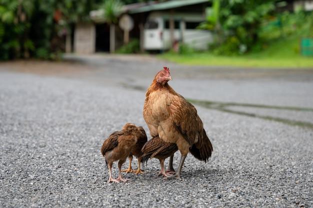 砂利の上に立っているひよこを持つ茶色の鶏