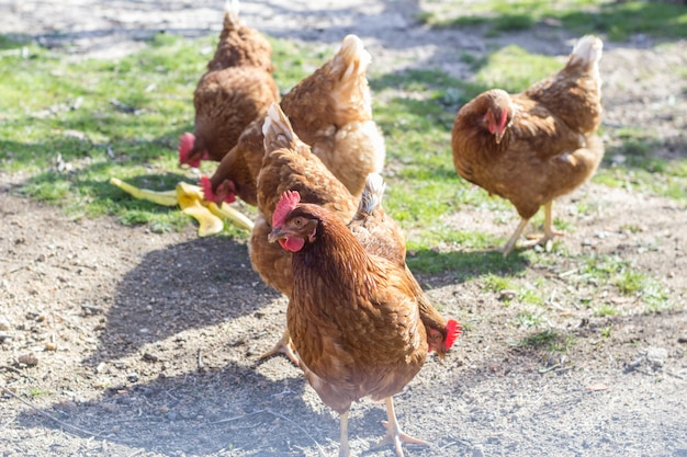 Brown hens stinging the ground inside the corral
