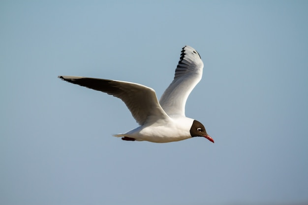 Brown hooded gull, chroicocephalus maculipennis, flying in a blue sky in the south atlantic.