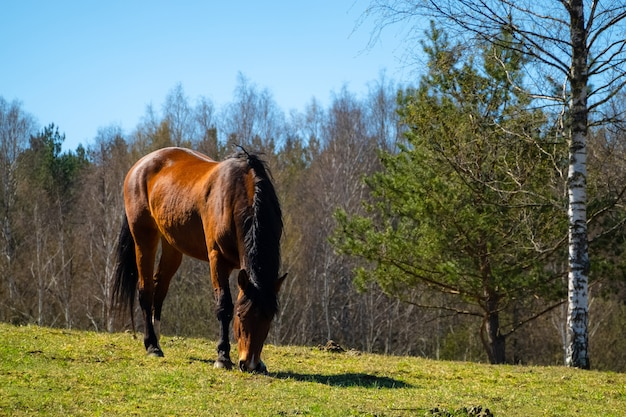 Brown horse eating grass on the farm land on a sunny day.