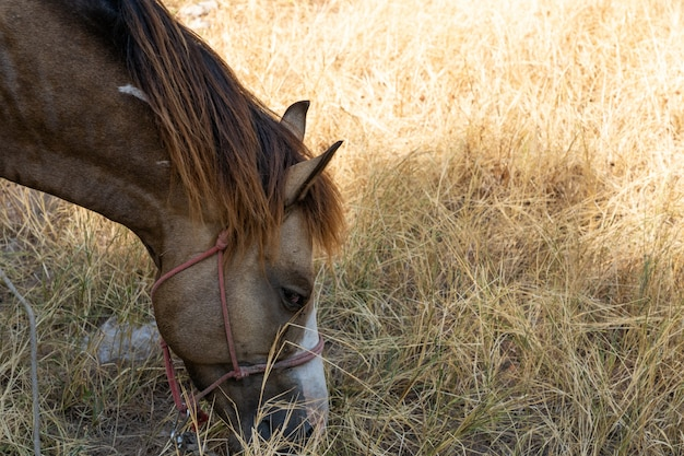 Brown horse eating grass