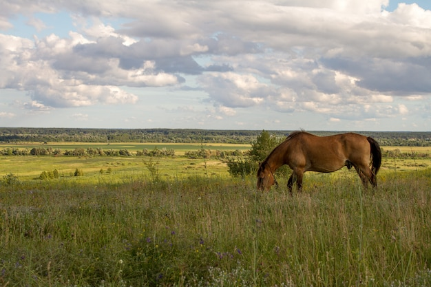 A brown horse grazes in a meadow and eats grass