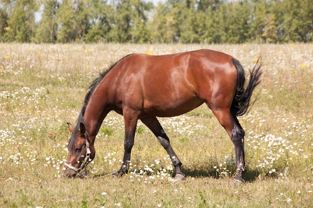 Brown horse grazing in a meadow.