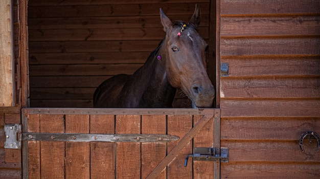 Brown horse look out from stable window. portrait of farm animal. mare head in wooden paddock inside. high quality photo.