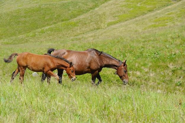 山の牧草地に茶色の馬。夏の日