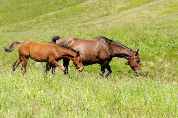 Коричневая лошадь на пастбище. летний день
