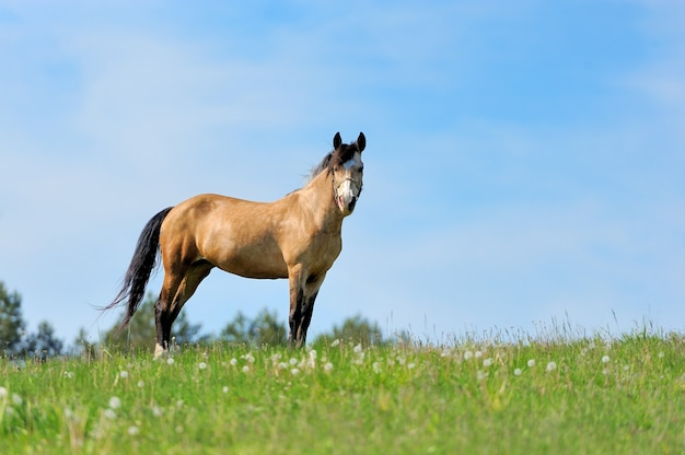 Brown horse on the pasture. summer day