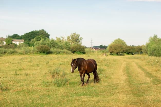 Brown horse walks in pasture in summer