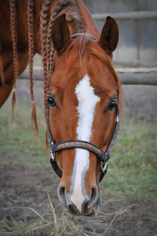Brown horse with mane braids looking, head portrait