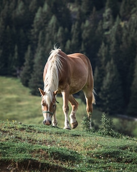 Brown horse with white mane eating grass on a hill with pine trees on the backgroun