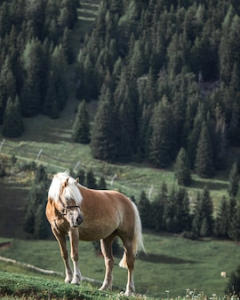 Brown horse with white mane on top of a hill with pine trees on the background