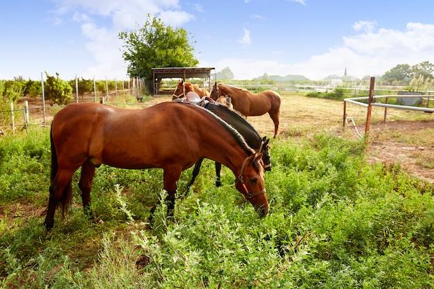 Brown horses at sunrise grazing