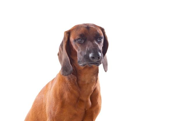 バイエルンの茶色の猟犬