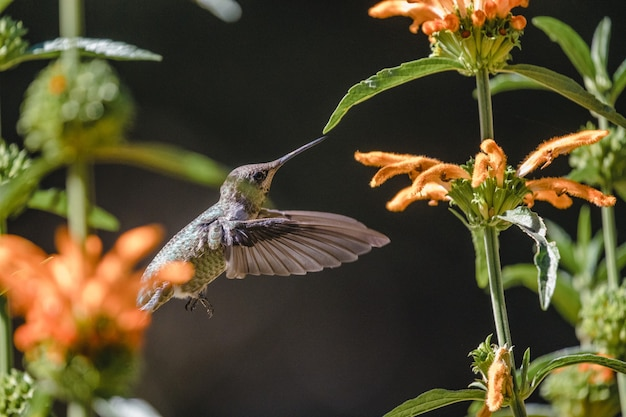 Brown humming bird flying over orange flowers