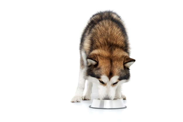 Brown husky eating from a metal plate.