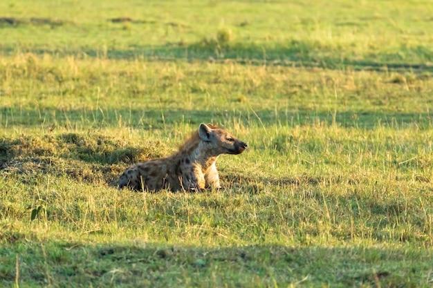 Коричневая гиена спит на траве кения, африка