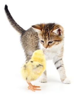 分離された茶色の子猫と鶏