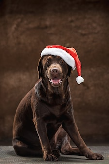 The brown labrador retriever sitting with gifts on christmas santa hat