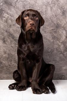 갈색 래브라도, 강아지의 스튜디오 사진