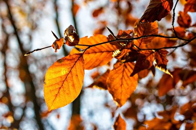 バックライトで秋の季節の茶色の葉